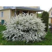 Декоративные растения Спирея Ван Гута фото