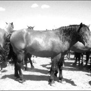 Племенные лошади типа джабе фото