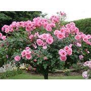 Продажа саженцев роз фото
