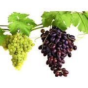 Подбор сортов винограда для конкретной местности фото