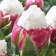 Тюльпан Попугайный Ice Cream, 1 шт фото