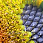 Ядро семян подсолнечника масличные сорта. Подсолнечник от 1000тн на Экспорт. Документы. Качество фото