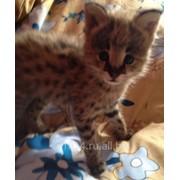 Сервал ручные котята фото