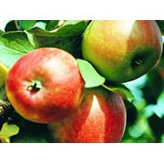 Ускорение созревания плодов садовых деревьев купить Украина. фото