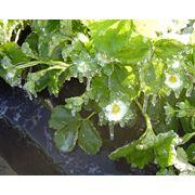 Защита клубники от заморозков фото