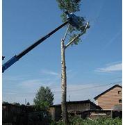 Санитарная обрезка деревьев. фото