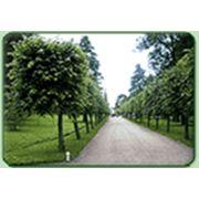 Посадка декоративных деревьев и кустарников фото