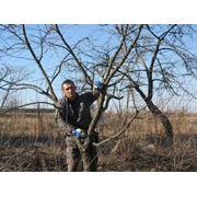 Обрезка плодовых деревьев Киев фото