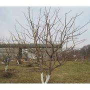Обрезка плодовых деревьев обрезка сада от компании Садовый центр ГринМарт. фото