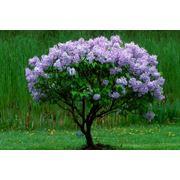 Обрезка декоративных деревьев и кустарников фото