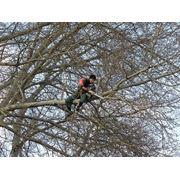 Обрезка сада безопасный срез; удаление; кронирование; зачистка; резка ; валка деревьев а также опасных веток с контролируемым спуском . фото