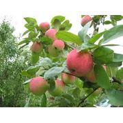 Обрезка плодовых деревьев. Донецк фото
