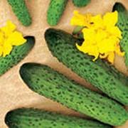 Огурец среднеплодный бугристый, сорт - Раис фото