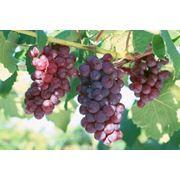 Разработки выращивания винограда фото
