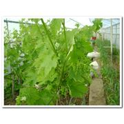 Технологии выращивания эко винограда в теплице фото