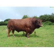 искусственное осеменение от быков элитных пород фото