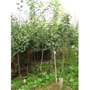 Приму предварительный заказ на выращивание одного или нескольких сортов яблони персика абрикоса груши от 300шт. фото