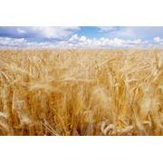 Продаем и выращиваем зерновые бобовые и масленичные культуры