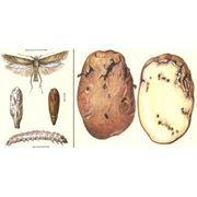 Фумигация (дезинсекция обеззараживание) картофеля и других овощных культур в холодильниках и овощехранилищах фото
