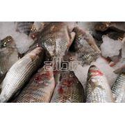 Выращивание и реализация рыбы семейства осетровых Осетр ленский бестер в живом и свежем виде фото