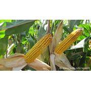 Хранение масличных культур. Хранение кукурузы фото
