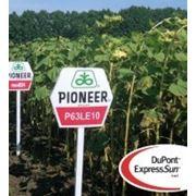 Семена подсолнечника устойчивые к гербициду П63ЛЕ10 / P63LE10 (новый) RM 37 фото
