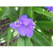 Цветы многолетние традесканция садовая 1 фото