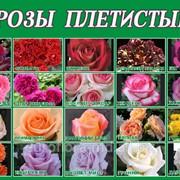 Розы плетистые в Молдове, 20 сортов фото