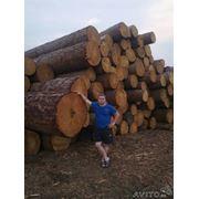 Круглый лес лиственница кедр фото