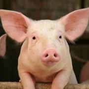 Свиньи мясных пород, купить свиней фото