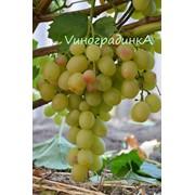 Саженцы винограда (сорт Лия) фото