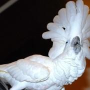 Белохохлый какаду (Cacatua alba) - ручные птенцы фото