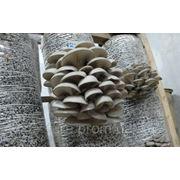 Грибной блок вешенки размером 35х75 см фото