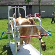 Станок для фиксации коров. фото
