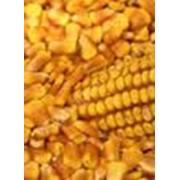 Семена кукурузы института Нови фото