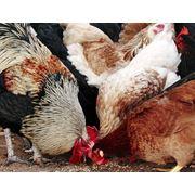Пищевая добавка для птиц рыборастительная кормовая смесь (РРКС) фото