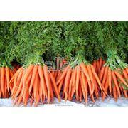 Морковь ранняя фото