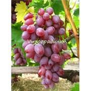 Саженцы винограда (сорт Кишмиш Лучистый) фото