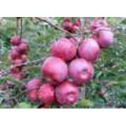 Яблоки сорт Флорина опт фото