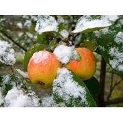 Яблоки зимние в Украине Купить Цена Фото фото