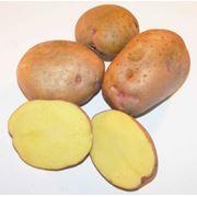 """Картофель семенной. """"Поліське джерело"""" фото"""