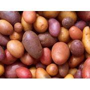 Картофель сортовой продам оптом в житомирской области фото