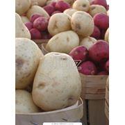 Картофель оптом по Украине фото