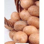 Картофель свежий оптом Бела роса урожай 2012г. отличного качества цена от производителя фото