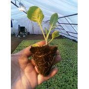 Продажа кассетной рассады овощей - огурец помидор перец капуста баклажан (на 2013 год). фото