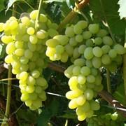 Виноград сорт Плевен фото