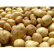 Картофель с поля по 1 грн. фото