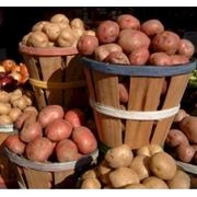 Картофель Украина фото