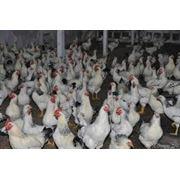 Цыплята подрощенные породы Адлерская серебристая купить цена фотт Украина фото
