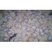 Суточные цыплята Украина фото